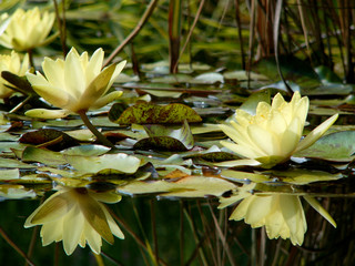 lilies in botanic garden 4