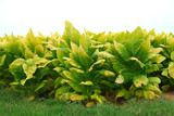 kentucky tobacco plants poster