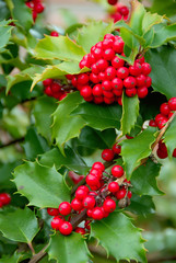 yuletide holly berries