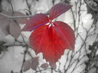 red leaf focal b&w