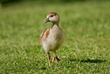 egyptian goose duckling poster