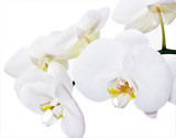 Fototapety white phalenopsis orchids