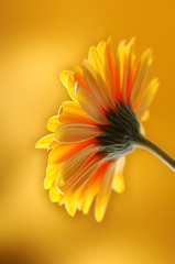 yellow orange gerbera flower