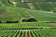 rows of grape vines in french vinyard
