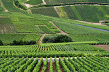 rows of grape vines in french vinyard - Fine Art prints
