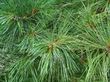 pine needles poster