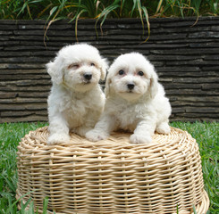two bichon frise puppies