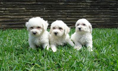 three bichon frise puppies