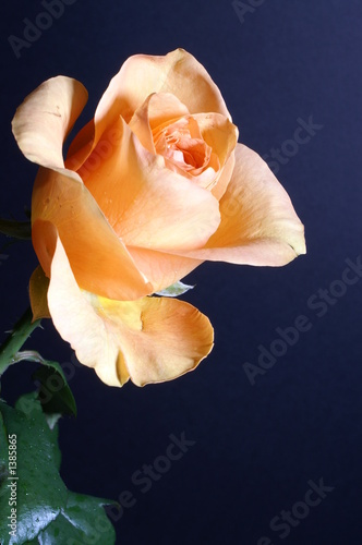 a yellow rose against a black background