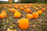 pumpkin filed poster