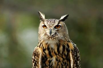 eurasion eagle owl
