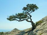 single pine tree poster
