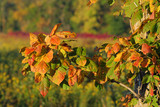 poison ivy, autumn poster
