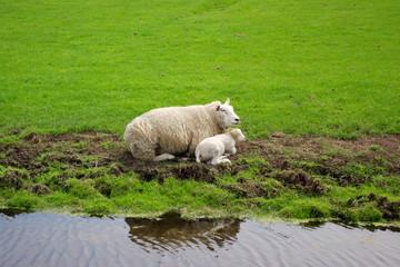 lamb couple