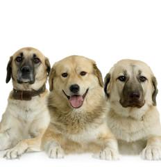 trio de berger d'anatolie