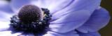 Fototapeta niebieski - fioletowy - Kwiat