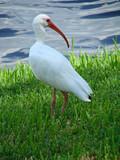 bright eyed ibis poster