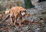 dog golden retriever poster