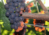 light shining through grape cluster poster