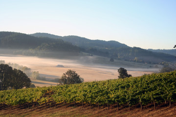morning vineyards