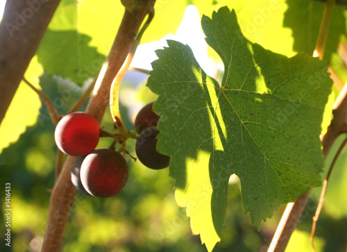 small grape cluster