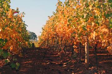 vineyard row in autumn