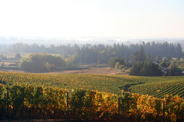 foggy vineyard in autumn