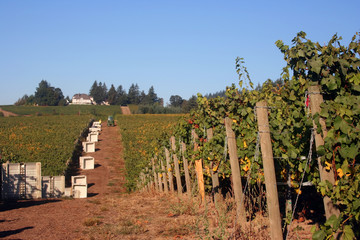 vineyard waiting for the harvest