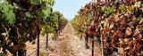 vineyard panorama poster