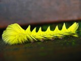 bright yellow caterpillar poster