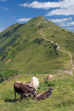 alpine cattle poster