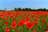 poppies field - 1423098