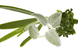 fresh herbs and spices. rosemary and sage poster