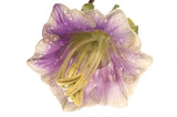 violet flower. kobea poster