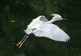 snowy egret in florida poster
