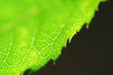 green leaf edge poster