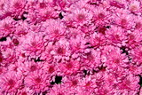 pink chrysanthemum background