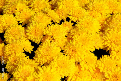 yellow chrysanthemum background