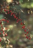 american barberry bush (berbera canadensis) w/ dew poster