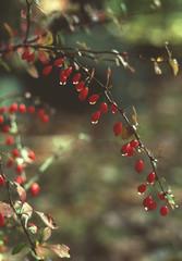 american barberry bush (berbera canadensis) w/ dew