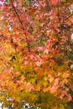 maple leaves in fall change poster