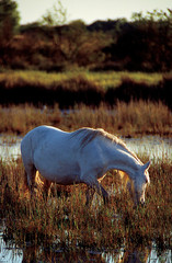 cavallo in camargue