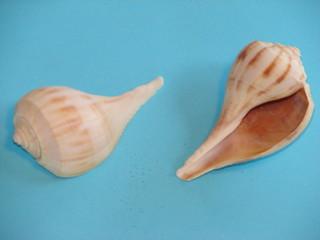 pear whelk