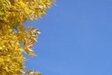 yellow foliage against a bright blue sky poster
