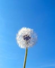 flower dandelion and sky