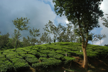 india, kerala: tea planttion