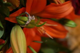 engagement ring in orange lilly with petals poster