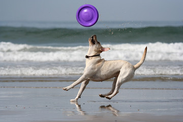 dog catching the disc