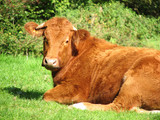 cow lying in grass poster