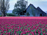 Fototapety tulips and barn